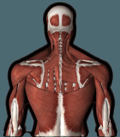 Muskulatur - Ursachen - Selbsttherapien